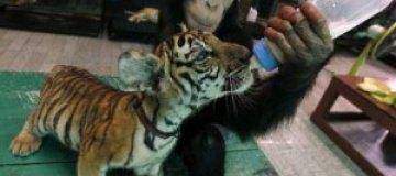 Шимпанзе кормит тигренка из бутылочки