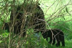 Медведь украл у американца мешок семечек