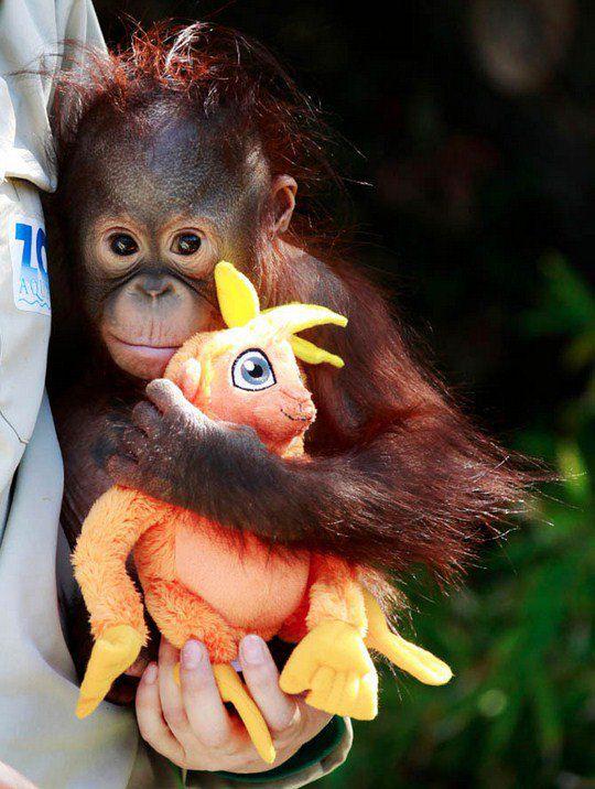Смотритель зоопарка с 9-месячным детенышем орангутанга по имени Бу и его игрушкой.