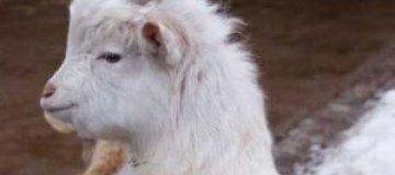 Козленок из нижегородского зоопарка подобрал себе имя