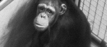 В Австрии освободили шимпанзе, проведших 30 лет за решеткой