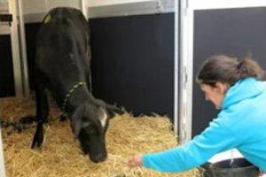 Сбежавшую с бойни корову решили помиловать