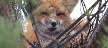 Канадский лис поселился в вороньем гнезде