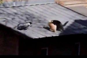 Ворона одержала победу в драке с котами