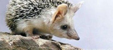 Еж Пуговка исполнит роль сурка-метеоролога в екатеринбургском зоопарке