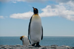 Южную Африку атаковали вонючие пингвины