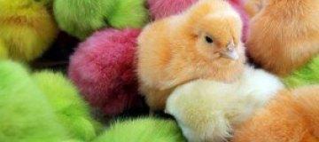 В США на Пасху вместо яиц покрасят цыплят