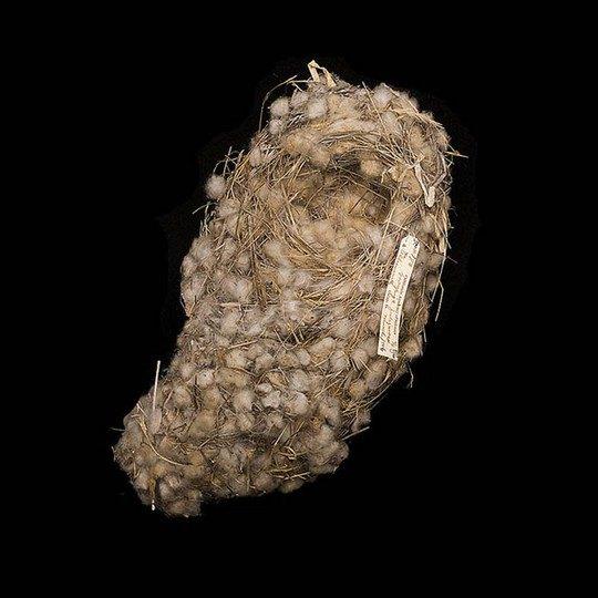 Гнездо зяблика Дарвина