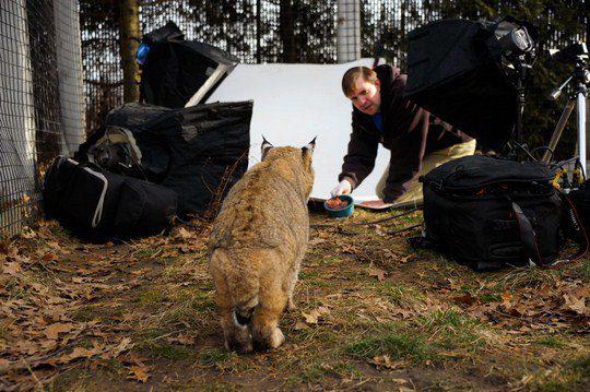 А так проходит подготовка к фотосессии: сотрудник зоопарка заманивает рысь на съемочную площадку