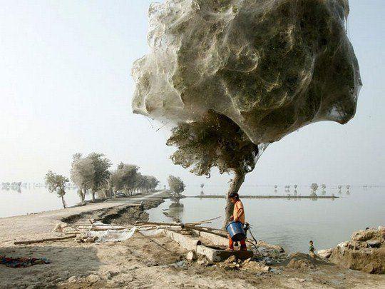 Паутина на деревьях, Пакистан