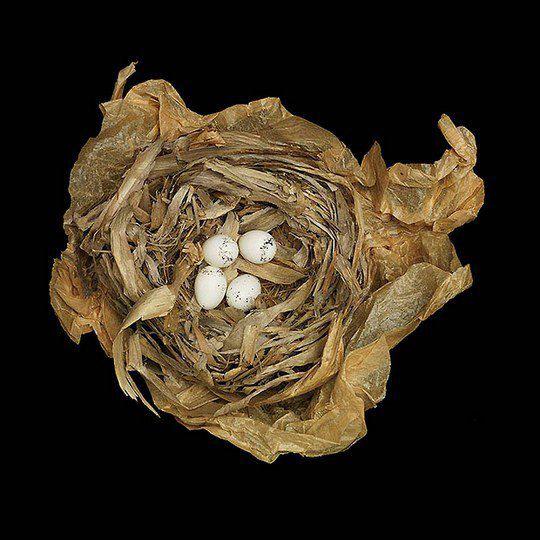 Гнездо желтогорлого певуна
