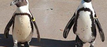 """Зоопарк Торонто разлучит пингвинов-""""гомосексуалистов"""""""