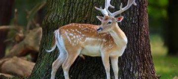 В Умани из ресторана сбежал ручной олень