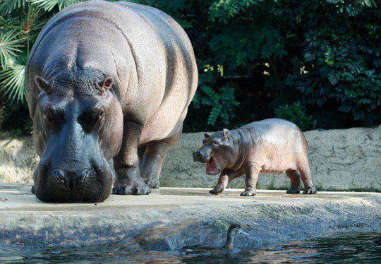 Детеныш гиппопотама с мамой Николь в Берлинском зоопарке.