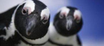 """Пингвины """"обстреляли"""" пометом посетителей зоопарка в Эдинбурге"""