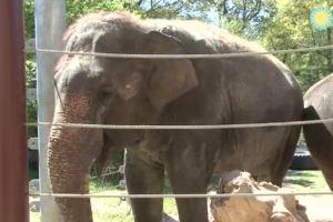 В США слониха научилась играть на губной гармошке