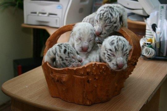 Имен у детенышей Тигрюли пока нет, в зоопарке планируют объявить конкурс