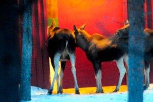 Cемейство лосей поймали на краже сена