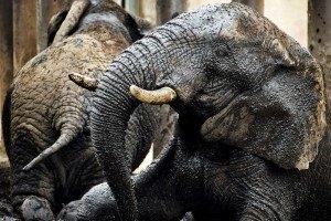 В Зимбабве будут торговать слоновой костью ради спасения слонов