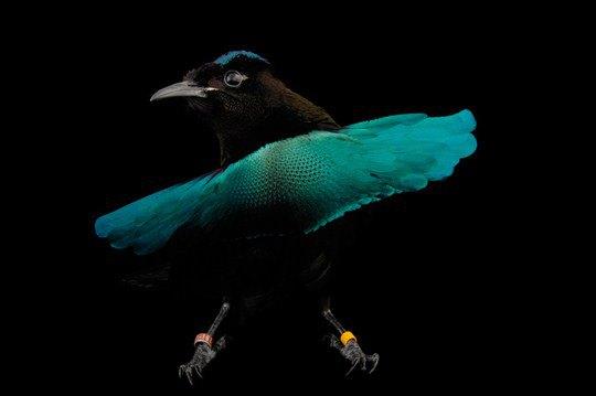 Чудная райская птица (Lophorina superba)