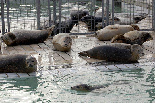 """Морские котики плавают в бассейне в приюте """"Pieterburen"""""""