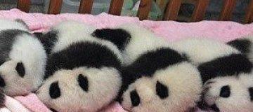 Детский сад для маленьких панд