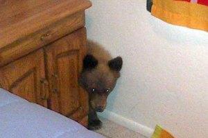 Американец нашел на своей кухне прожорливого медвежонка