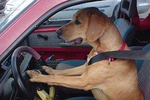 В США пес за рулем машины сбил пешехода