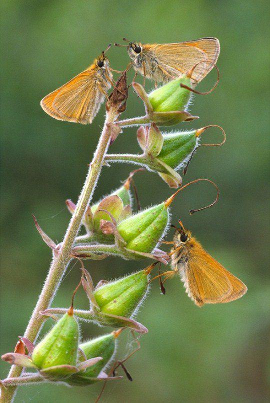 «Три маленьких мотылька на семянках наперстянки»