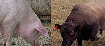 На шведской ферме поросенок влюбился в быка-производителя