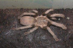 Немецких туристов задержали на границе с 200 тарантулами