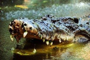 Во Вьетнаме из-за сбежавших крокодилов закрыли несколько школ