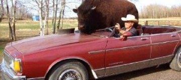 В Канаде 800-килограммовый буйвол ездит в кабриолете