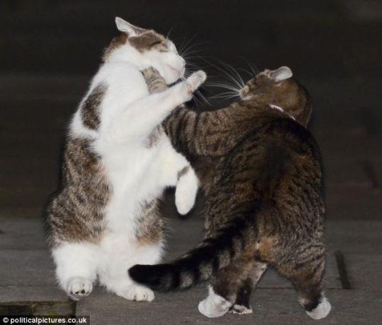 Драка котов премьера и министра финансов Великобритании
