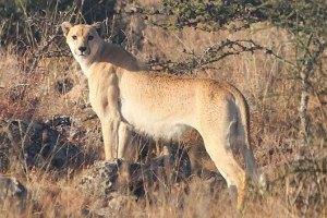 В Кении нашли уникального гепарда без пятен
