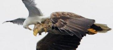 Чайка на лету оседлала могучего орла