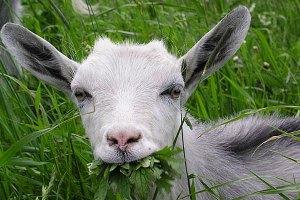 В Болгарии козу арестовали за незаконную агитацию