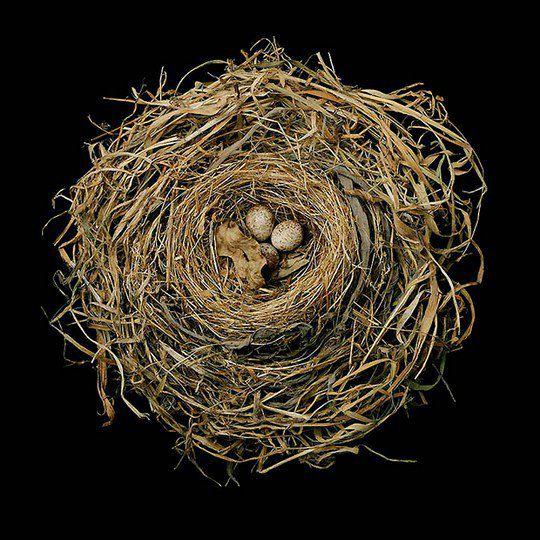 Гнездо певчей зонотрихии
