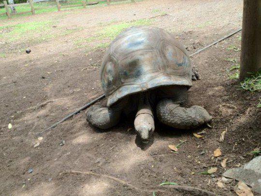 По острову разгуливали 100-килограммовые черепахи
