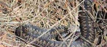 Поцеловавший змею латыш оказался в больнице