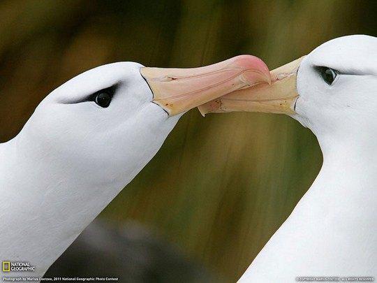 Чернобровые альбатросы, Оклендские острова