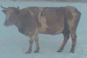 На якутских коров надели меховые лифчики