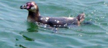В Японии поймали сбежавшего из аквариума пингвина