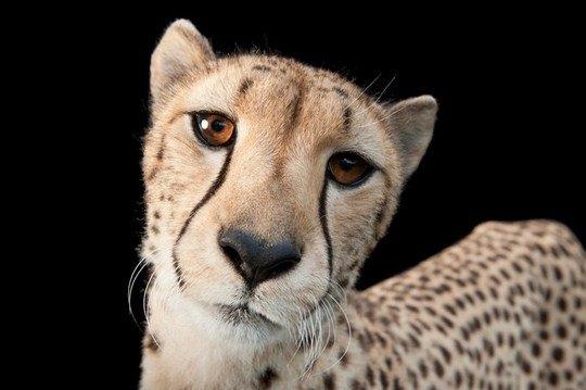 Трехлетний гепард (Acinonyx jubatus)