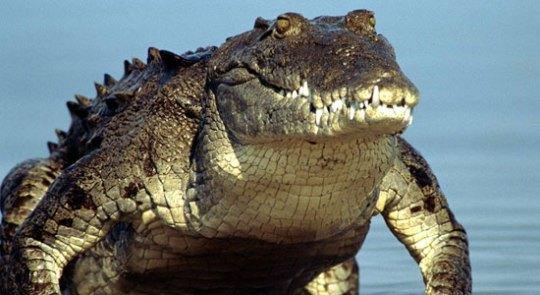 Если крокодил будет не австралийским, Обаме придется пенять на себя