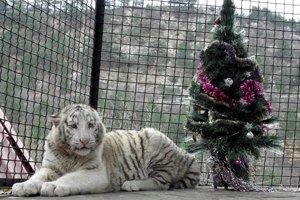 Тигрюля беременна от француза
