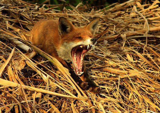 «Красная лиса зевает после полуденного сна»