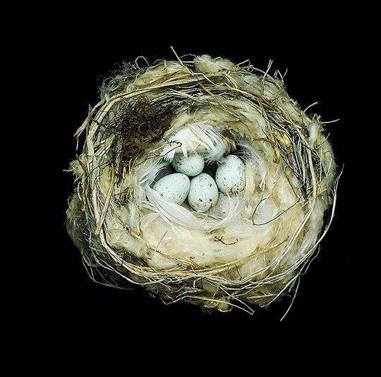 Гнездо тундряной чечётки