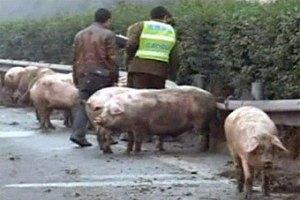Свиньи заблокировали движение по китайскому шоссе