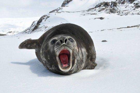 Серж Кочи, «Молодой морской слон»
